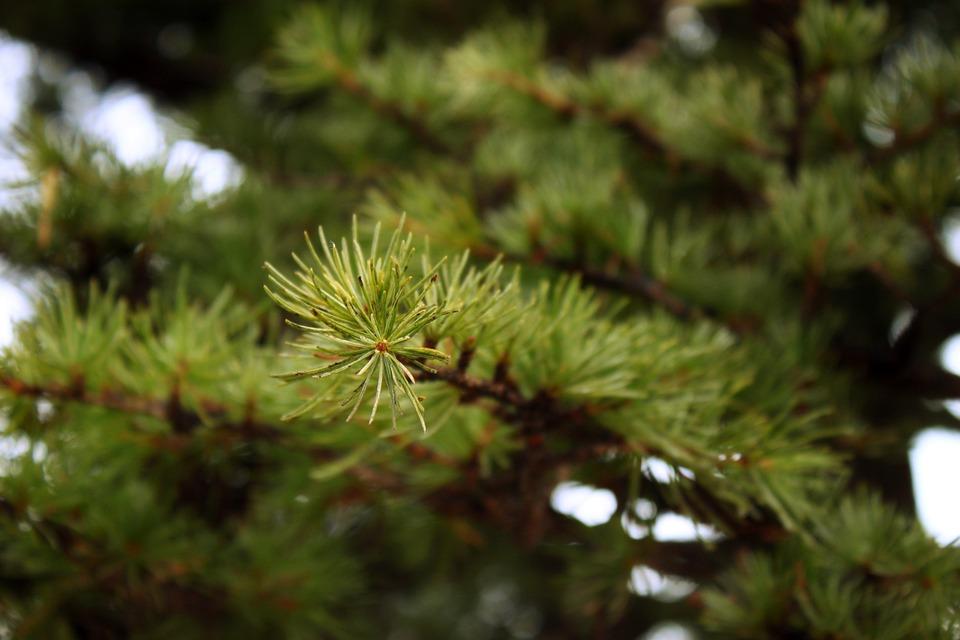 pine-63563_960_720